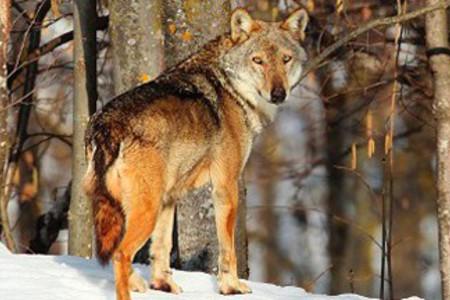 Progetto Life WolfAlps, Lupo in area faunistica, Centro Uomini e Lupi a Entracque, ph. di M. Giordanobassa