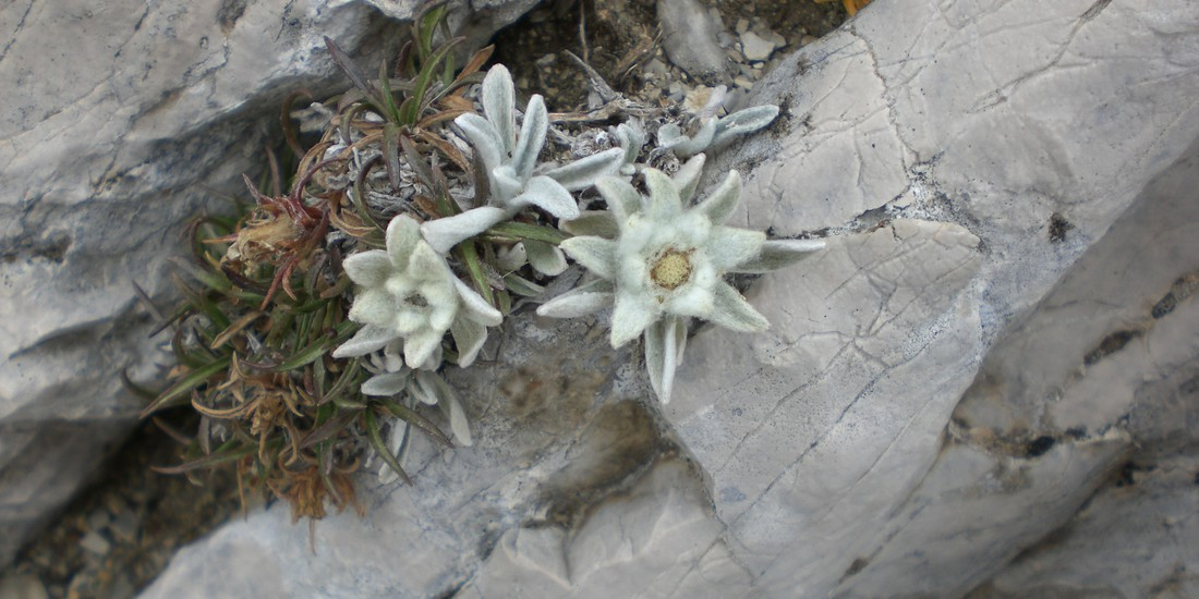 Stella alpina, il Trentino per la Biodiversità
