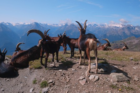 Éleveurs grimpants ©Fondazione Courmayeur Mont Blanc