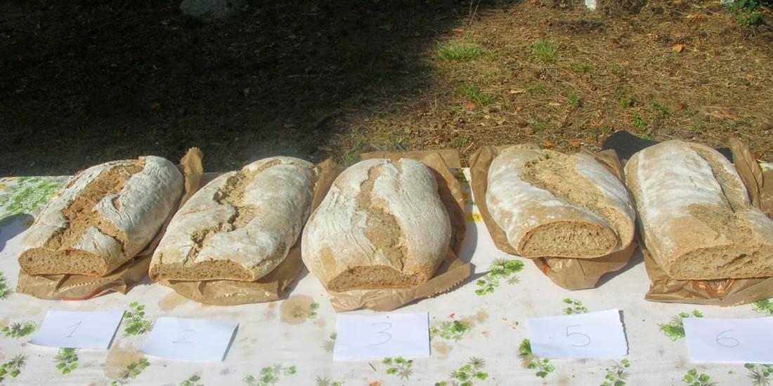 I pani ottenuti da diverse vecchie varietà a confronto con una varietà moderna, ph. di Paola Migliorini