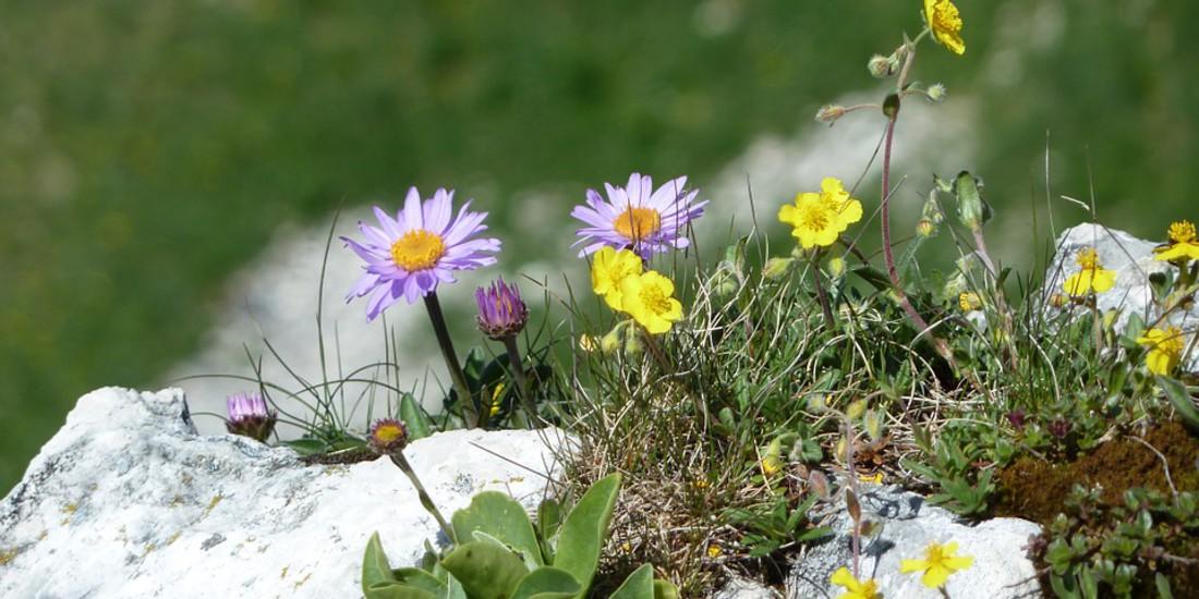 Fiori di montagna in primavera