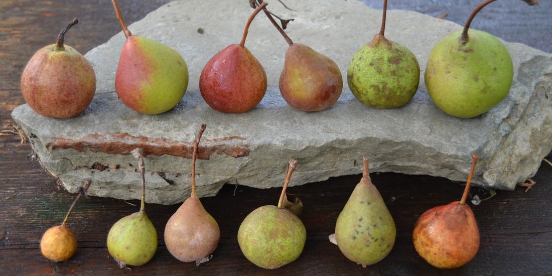 Diversità di pere, Collezione frutteto Archeologia Arborea