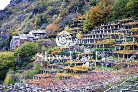 La coltivazione a pergola dei vitigni di nebbiolo di Carema (Torino) - (@Valérie Ganio Vecchiolino)