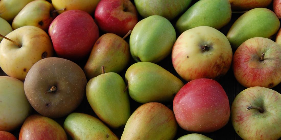 Diversità di mele, Collezione frutteto Archeologia Arborea