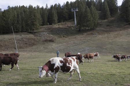 Mostra fotografica Sospensioni, Mucche al pascolo sotto gli impianti di risalita in Alta Valle Susa, ph. L. Cantarella